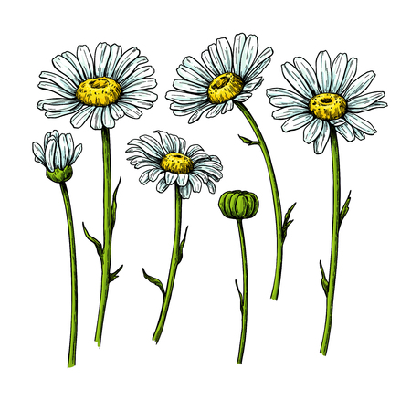 Illustration pour Daisy flower drawing. Vector hand drawn floral object. Chamomile sketch set. Wild botanical garden bloom. Great for tea packaging, label, icon, greeting cards, decor - image libre de droit