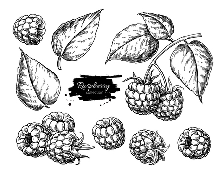 Illustration for Raspberry vector drawing. Isolated berry branch sketch on white - Royalty Free Image
