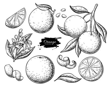 Illustration pour Orange fruit  drawing set. - image libre de droit