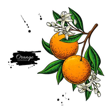 Illustration pour Orange branch  drawing. - image libre de droit