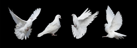 Photo for Four white doves  isolated on a black background - Royalty Free Image