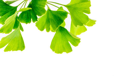 Foto de Ginkgo biloba leaves isolated on white background - Imagen libre de derechos
