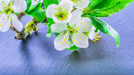 close-up of Cherry Blossom or Sakura on stone background with copy space. macro spring and summer border template floral. mockup greeting and holiday card.