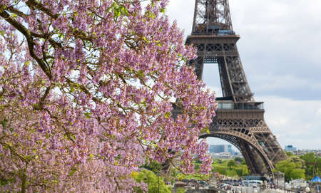 Spring in Paris. Blossoming jacarandas and the Eiffel Tower. Focus on jacarandas