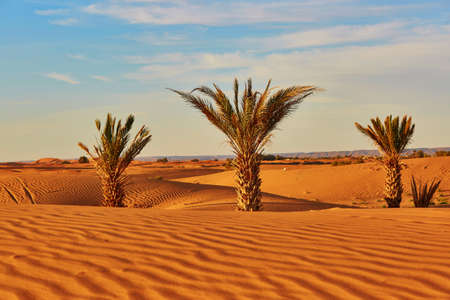 Photo for Palm trees and sand dunes in the Sahara Desert, Merzouga, Morocco - Royalty Free Image