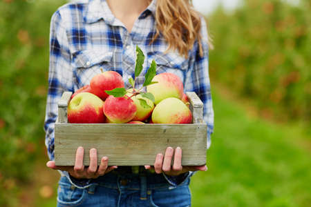 Foto per Closeup of woman's hands holding wooden crate with red ripe organic apples - Immagine Royalty Free