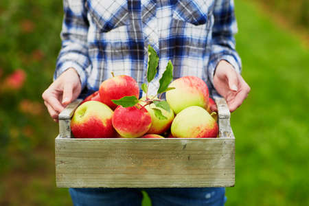 Foto für Closeup of woman's hands holding wooden crate with red ripe organic apples - Lizenzfreies Bild