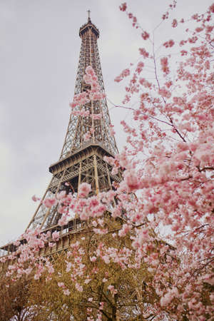 Photo pour Cherry blossom flowers in full bloom with Eiffel tower in the background. Early spring in Paris, France - image libre de droit