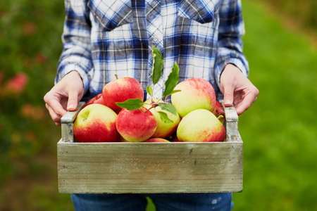 Photo pour Woman holding crate with ripe red apples on farm. Autumn, harvest and gardening concept - image libre de droit