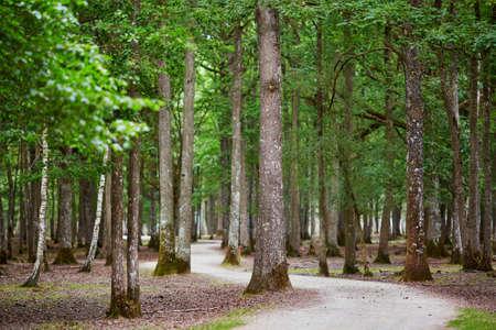 Foto de Beautiful mixed pine and deciduous forest with footwalk through it. France, Europe - Imagen libre de derechos