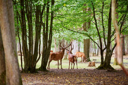 Photo pour Wild deers in beautiful mixed pine and deciduous forest, France - image libre de droit