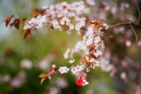 Foto de Branch of blossoming cherry tree with red and white martisor - traditional symbol of the first spring day - Imagen libre de derechos