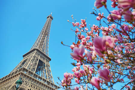 Photo pour Pink magnolia flowers in full bloom with Eiffel tower in the background. Early spring in Paris, France - image libre de droit