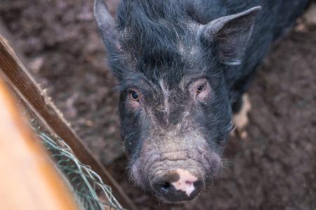 big black pig looks at the frame