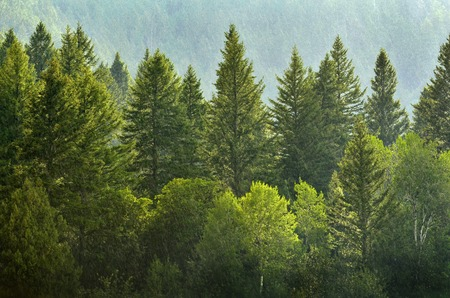 Photo for Forrest of green pine trees on mountainside with rain - Royalty Free Image