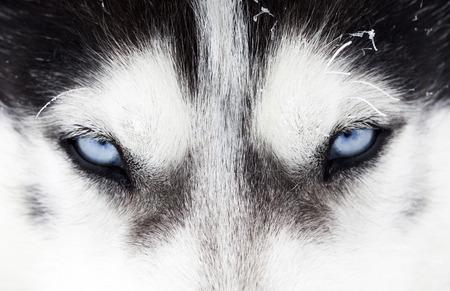 Photo for Close up on blue eyes of a husky dog - Royalty Free Image
