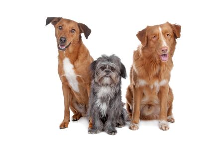 Two mixed breed dogs and a Nova Scotia Duck Tolling Retriever isolated on a white background