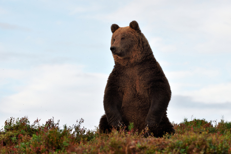 Photo pour brown bear on the hill with blue sky on background - image libre de droit