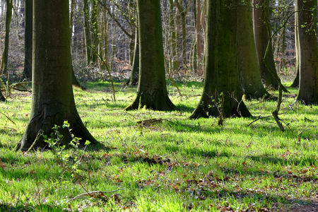 Photo for Spring mood in the beech forest - Royalty Free Image