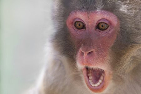 Picture of the face of a monkey with a surprise expression