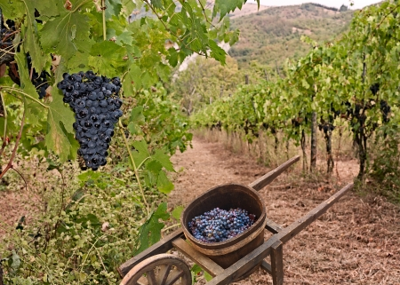 Photo pour grapes for production italian wine and old wheelbarrow for the transport in vineyard on the hills of Tuscany, Italy - image libre de droit