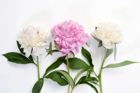 Photo for Cerise Pink and white Peony Flowers on the wooden white table - Royalty Free Image