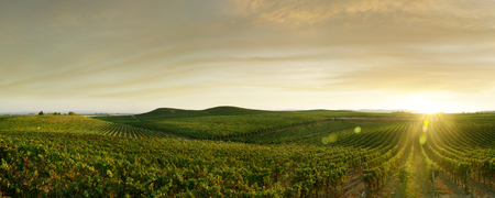 Photo pour panoramic view of grape plantation of Napa valley in summer time - image libre de droit
