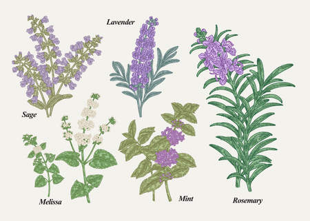 Ilustración de Hand drawn rosemary, pepper mint, melissa, sage, lavender and sage garden herbs with leaves and flowers. Medical plants collection. Hand drawn colored sketches. Vector illustration. - Imagen libre de derechos