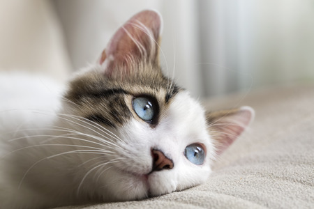 Photo pour Blue Eyed Cat - image libre de droit