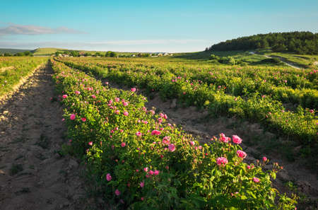 Photo for Field of blooming pink damask roses at Bakhchisaray, Crimea - Royalty Free Image