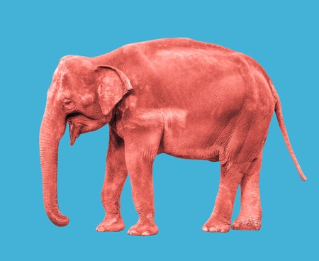 Photo pour Pink or coral colored Elephant close up. Big walking elephant isolated on blue background. Standing elephant full length close up. Female Asian elephant. - image libre de droit