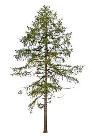 Foto de Tall European larch tree isolated on white background - Imagen libre de derechos