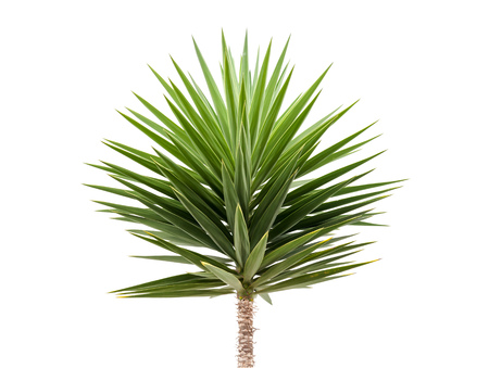 Photo for Green Yucca plant isolated on white background - Royalty Free Image