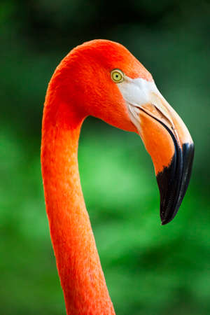 Foto de Flamingo face and bill close up - Imagen libre de derechos