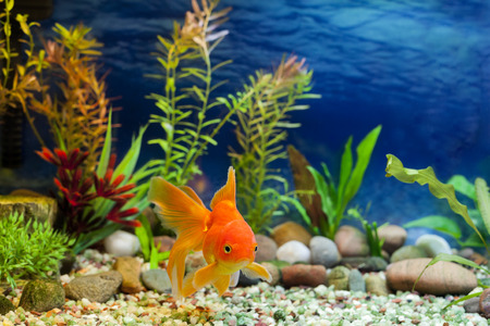 Foto de Aquarium native hardy fancy gold fish, Red Fantail - Imagen libre de derechos