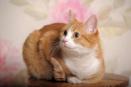 ginger cat with white breast