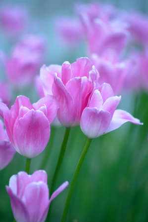 Photo for tulips - Royalty Free Image