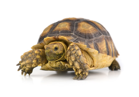 Photo for turtle isolated on white background - Royalty Free Image