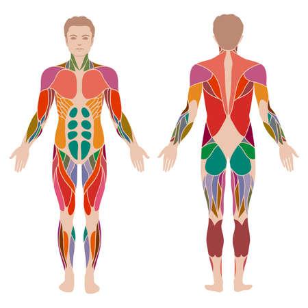 Ilustración de vector muscular human body, anatomy muscle man, - Imagen libre de derechos