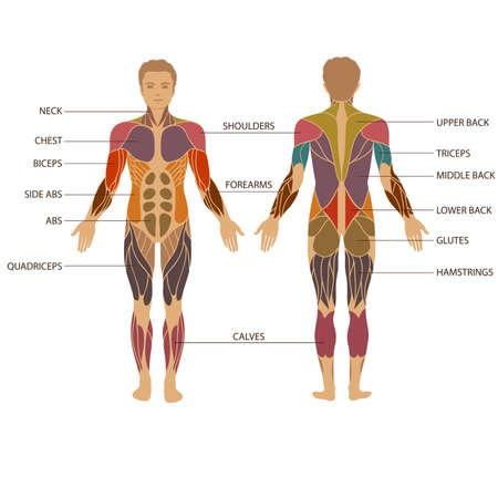 Illustration pour vector muscular human body, anatomy muscle man, - image libre de droit