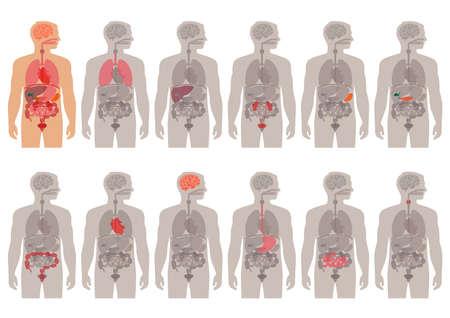 Illustrazione per human body anatomy vector medical organs system, - Immagini Royalty Free