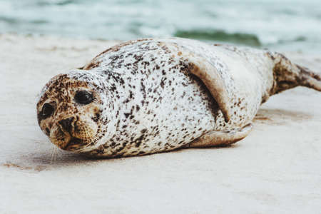 Photo for Seal funny animal relaxing on sandy beach in Denmark phoca vitulina ecology protection concept arctic sealife  - Royalty Free Image