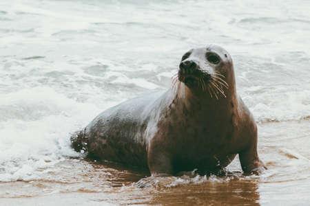 Photo for Seal funny animal on Grenen seaside in Denmark - Royalty Free Image