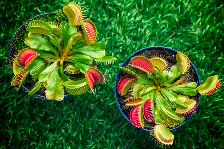 Foto de Close-up of a young bright green Dionaea muscipula in a pot on a green artificial grass, top view - Imagen libre de derechos