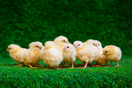 Photo pour Close-up of a lot of small yellow chicks  or Gallus gallus  with black eyes on the artificial grass in the room sits - image libre de droit