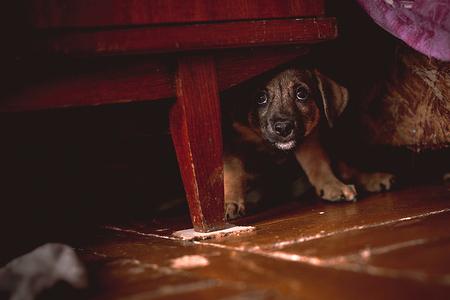 Photo pour Small Puppy Hiding Under Wardrobe - image libre de droit