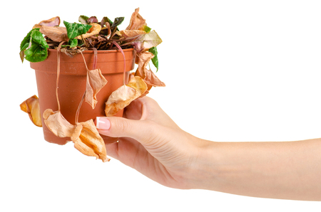 Foto de A dried plant in a pot in hand on a white background isolation - Imagen libre de derechos