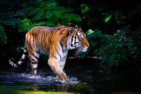 Photo for Tiger in water. - Royalty Free Image