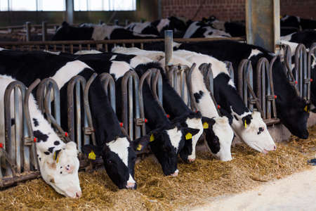 Photo for cows in a farm. Dairy cows in a farm. - Royalty Free Image