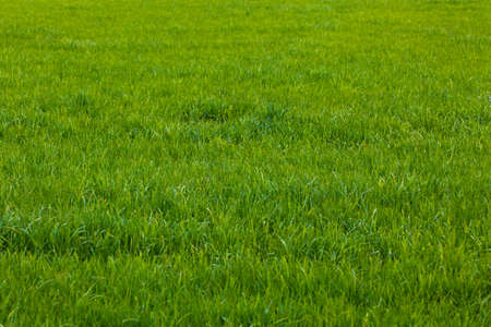 Photo pour Background of a green grass.  Green grass texture - image libre de droit